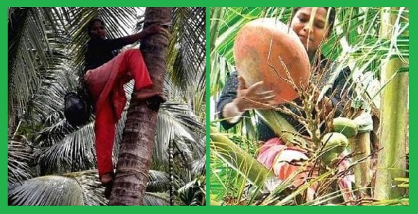C Sheeja breaks barriers by climbing cocunut trees to tap toddy for a living